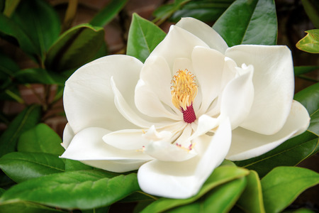 southern: The beautiful white flower of the Magnolia Grandiflora, or Southern Magnolia.