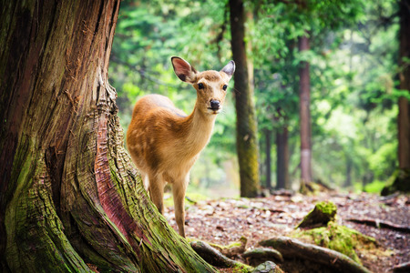 roam: Young sika deer in Nara Park, Japan. The deer, the symbol of the city of Nara, roam freely and are considered in Shinto to be the messengers of the Gods. Stock Photo