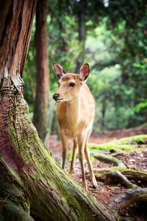 Young sika deer in Nara Park, Japan. The deer, the symbol of the city of Nara, roam freely and are considered in Shinto to be the messengers of the Gods. Stock Photo