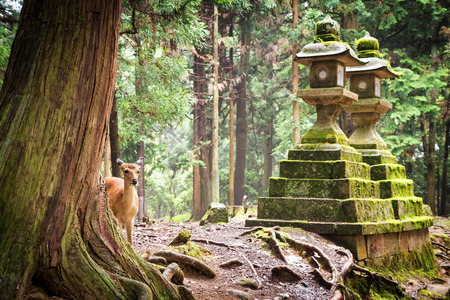 Young sika deer and temple lanterns, in Nara Park, Japan. The deer, the symbol of the city of Nara, roam freely and are considered in Shinto to be the messengers of the Gods.