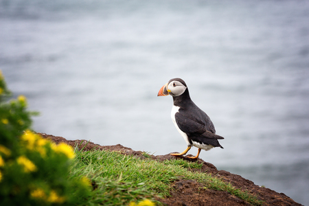 A puffin on the cliffs of Treshnish Isle, Inner Hebrides, Scotland