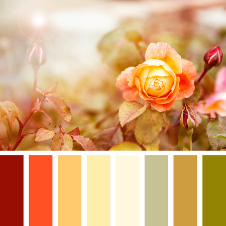 complimentary: Yellow and red roses in sunlight, in a colour palette with complimentary colour swatches.