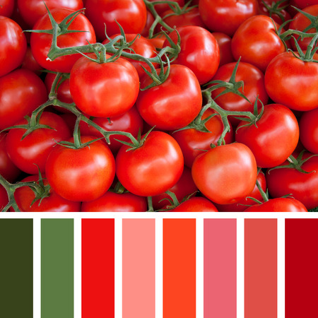 swatch: A background of fresh vine tomatoes. In a colour palette with complimentary colour swatches.