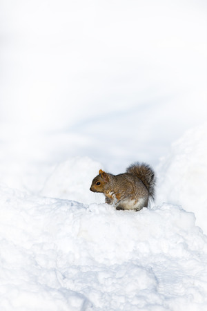 ventures: A squirrel ventures out in the snow in the depths of winter. Space for your text.