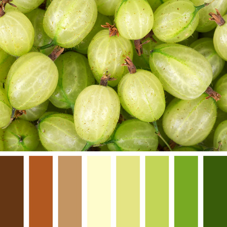 complimentary: A background of fresh, ripe gooseberries, in a colour palette with complimentary colour swatches.
