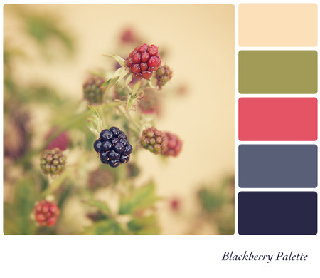 complimentary: Blackberries growing in the hedgerow, processed to look like an aged instant photo, in a colour palette with complimentary colour swatches.