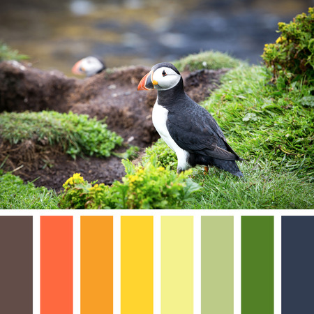 complimentary: A puffin on the cliffs of Treshnish Isle, Inner Hebrides, Scotland. In a colour palette with complimentary colour swatches.