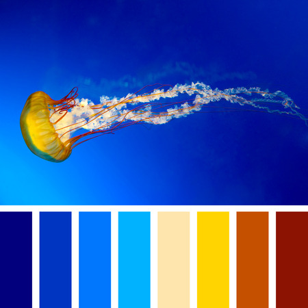 The Japanese Sea Nettle, or Chrysaora pacifica Jellyfish. In a colour palette with complimentary colour swatches.