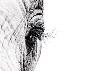 gritty: Gritty high contrast and high key black and white image of the eye of an African elephant. Intentional shallow depth of field. Space for text.