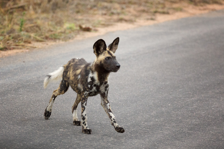 painted dog: African wild dog or African Painted dog, side view, Kruger National Park