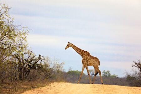 South African or Cape giraffe walking across the road in Kruger national park.