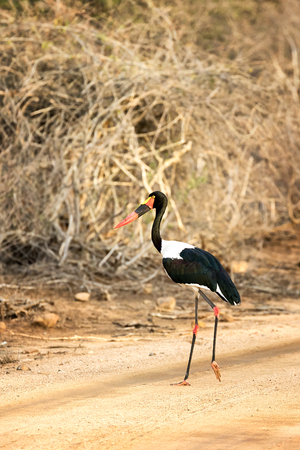 Saddle-billed stork, Ephippiorhynchus senegalensis, Kruger National PArk, South Africa.
