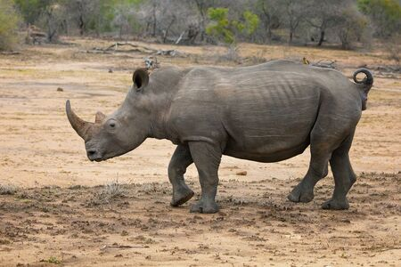 big 5: Adult rhinoceros, side view, in Kruger National park. The rhino is one of the big 5 animals of South Africa. Stock Photo