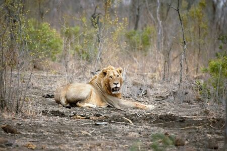 quite: A lone male lion looks towards the camera, in Kruger National Park, South Africa. The lion is one of the big 5 game animals. This example is quite old and battle-scarred.