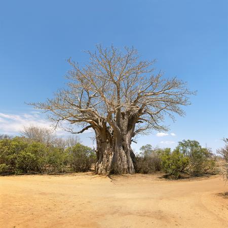 digitata: Giant Glencoe Baobab tree in Kruger National Park, South Africa.