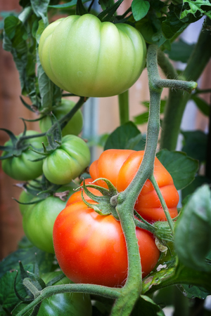 Heirloom beefsteak tomatoes, growing in a greenhouse, with both ripe and unripe fruits on the vine. Reklamní fotografie