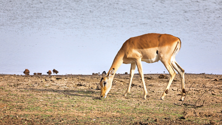 scrub grass: Female impala grazing at the edge of a waterhole. Kruger National Park, South Africa.