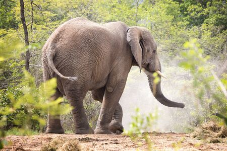 Adult bull elephant kicks up dust, side view, side, . Kruger region, South Africa,