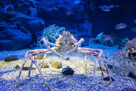 Die japanische Riesenspinnenkrabbe, die bis zu einer Spannweite von 5,5 Metern von Kralle zu Kralle wachsen kann. Dies gilt als eine Delikatesse in Japan,