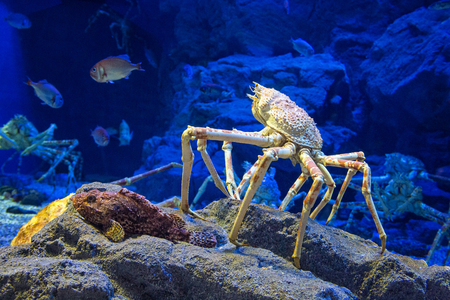 fish tank: The Japanese giant spider crab, which can grow to a span of 5.5 metres from claw to claw. This is   considered to be a delicacy in Japan,