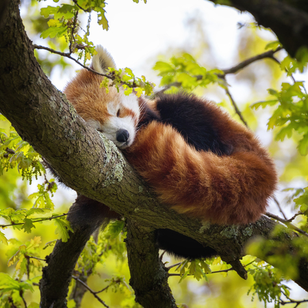 Red panda, also known as the lesser panda, firefox or cat-bear, sleeping in the branches of a tree. This creature is indigenous to the Himalayas and China. Stock Photo