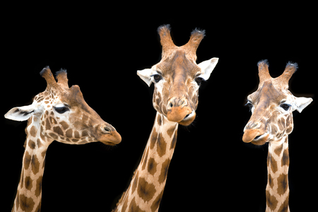 Trio of African giraffes isolated on black background.