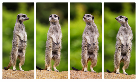 A collage of meerkats, standing on their hind legs and all looking in different directions. Archivio Fotografico