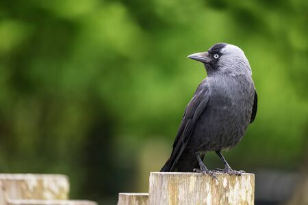 Side view of an adult jackdaw perched on a fence post. Space for your text. Stock Photo