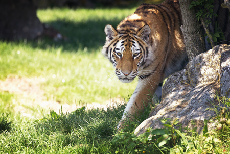 Young adult Siberian tiger, otherwise known as the Amur Tigers, emerges from the shade of the undergrowth.