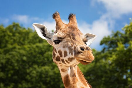 Front on view of a giraffe against green foliage and blue sky background.