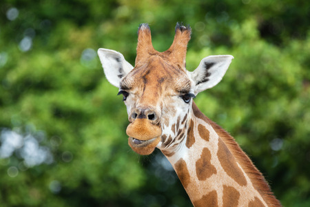 Front on view of a comical giraffe against green foliage background.
