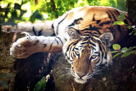 Siberian or Amur tiger resting in the undergrowth on a sunny day