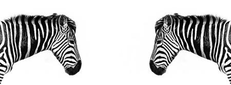 Plains zebra profile reflected. Horizontal banner in popular social media proportions.