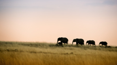 A herd of elephants, silhouetted against the early evening sky, walking in the characteristic red oat grass of the Masai Mara in Kenya.