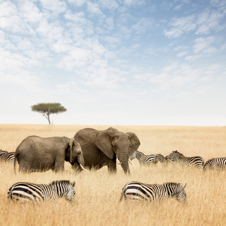 pachyderm: Adult and young elephant with zebras and lone acacia tree, in the red oat grass of the Masai Mara, Kenya. Stock Photo