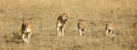 Lionss walking in a row. Two slightly older animals and two young cubs, with one older cub keeping the little ones in line. In Masai Mara, Kenya. Horizontal banner in popular social media dimensions.