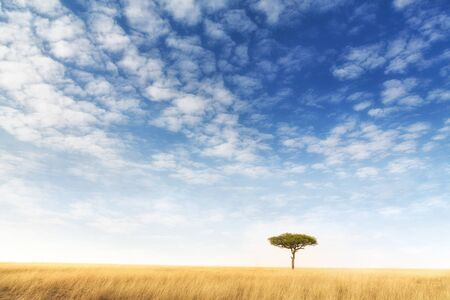Lone acacia tree in the Masai Mara, Kenya. Solitary tree in the typical red oat grass of the region, with blue sky and wispy cloud background. Space for your text.