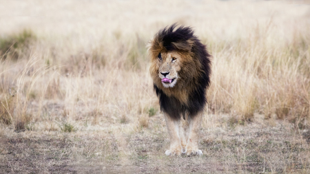 Adult male lion standing in a clearing amid the red oat grass of the Masai Mara, This mature lion is known locally as Scar or Scarface due to the prominent wound over his right eye. Stock Photo