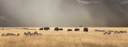 Stormy skies over the red oat grass of the Masai Mara. A panorama with herds of elephants and zebra during the annual Great Migration. Stock Photo