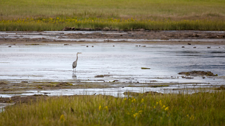 herodias: Great blue heron in the marshes of New Brunswick, Canada.