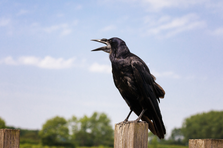 Single carrion crow perched on a fence squawking. Side view with open beak against blue sky background.