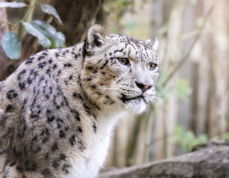 Watchful and alert adult snow leopard Stock Photo