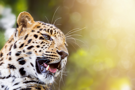 Adult Amur leopard in sunlight. Beautiful big cat baring his teeth. Space for text.This animal is a critically endangered species indigenous to Southeast Russia and Chine