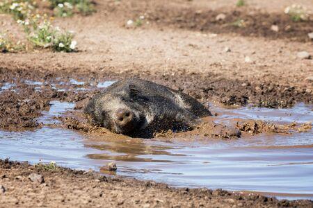 Wild boar taking a mud bath to cool down on a summer day. Archivio Fotografico