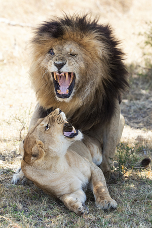 Male and female lions in the Masai Mara, Kenya. Mating couple in the act of copulation.
