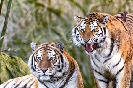 Two young adult Siberian tiger brothers, otherwise known as the Amur Tigers. These big cats are indigenous to far eastern Russia.