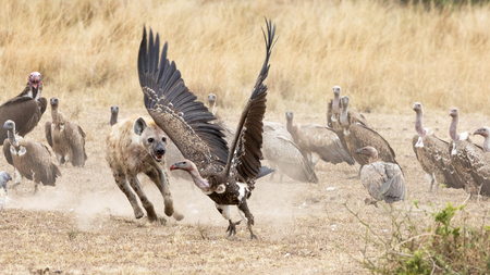 A lone hyena chases vultures away from the remains of a kill. In the Masai Mara, Kenya.