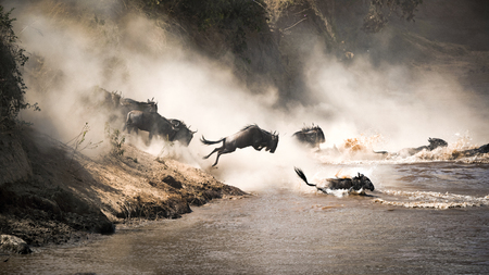Wildebeest crossing the Mara River during the annual great migration.