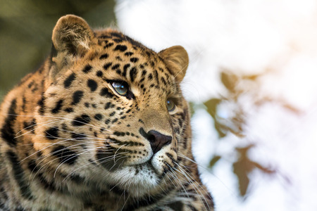 Young adult Amur Leopard. A species of leopard indigenous to southeastern Russia and northeast China, and listed as Critically Endangered. Space for text. Stock Photo