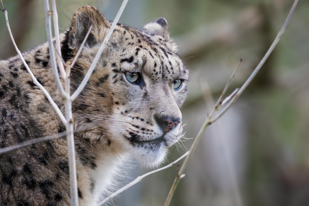Watchful and alert adult snow leopard portrait with space for text